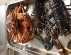 Photo Araignée de mer fraîche et vivante - De La Clape