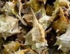 Photo Murex sea snails (6) - Le Saint Clair